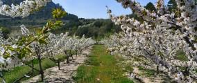 Camp_de_cirerers_florits_a_la_Vall_de_Gallinera